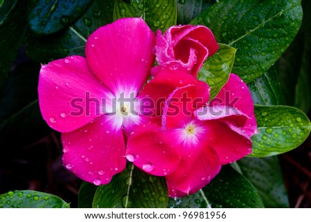 Pink New Guinea Impatiens with water droplets on leaves.