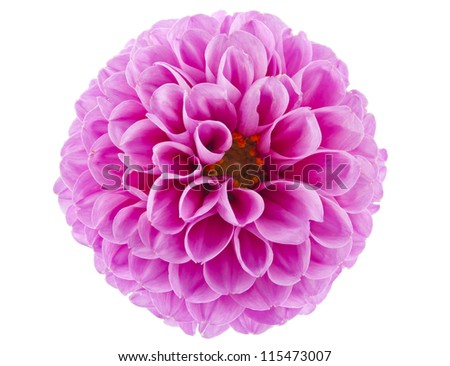 pink of a dahlia isolated on white background