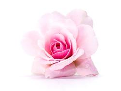 Pink of Damask Rose flower on white background. (Rosa damascena)
