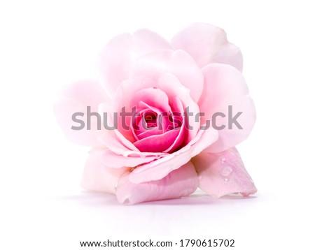 Pink of Damask Rose flower on white background. (Rosa damascena) Сток-фото ©