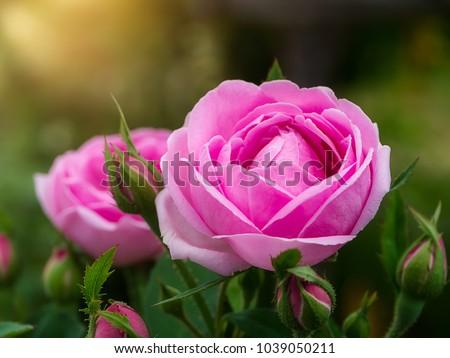 Pink of Damask Rose flower with sunlight. (Rosa damascena)