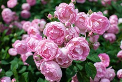 Pink oldfashioned rose flowers bush in heavy bloom close up