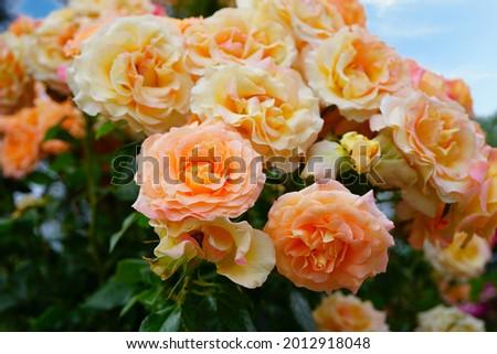 Pink orange Elle rose flower growing in the garden Stock fotó ©