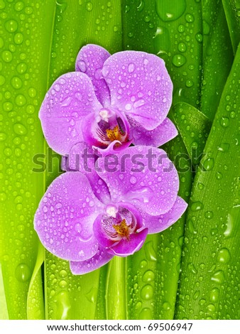 pink orchid and dewy leaves - stock photo