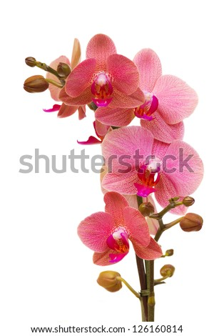 pink orchid branch - stock photo