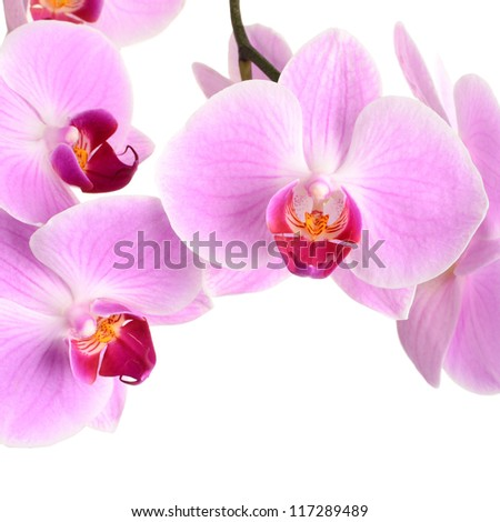 White And Pink Orchid Flowers Pink Orchid Flower Close up