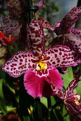 Pink orchid flower with dark red spots pattern, Oncidiinae hybrid subtype, commercial name Cambria.