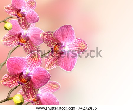 pink orchid flowers , close up for background