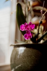 Pink orchid flowers in a green ceramic pot in sunlight by a window.