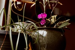Pink orchid flowers in a green ceramic pot in sunlight by a window.  Orchidaceae.  Phalaenopsis