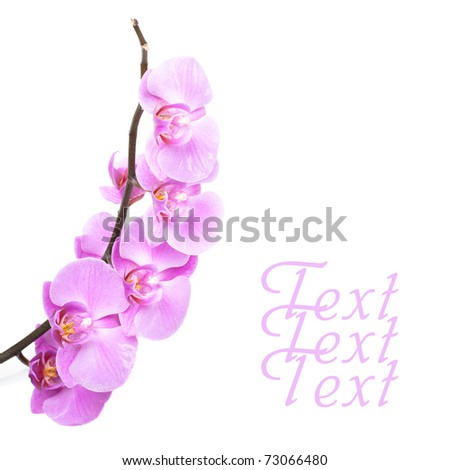 pink orchid flowers on white