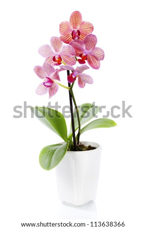 Pink orchid in a white flowerpot on white background #113638366