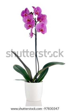 Pink orchid in a white flowerpot on white background.