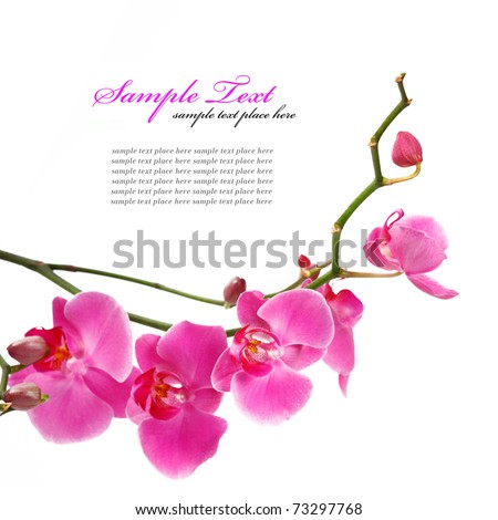 pink orchid isolated on a white ...