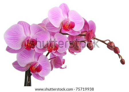 pink orchid isolated on white...