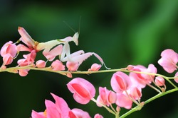 Pink orchid mantis or Walking flower mantis (Hymenopus coronatus) ,is a beautiful pink and white mantis with lobes on its legs that look like flower petals.