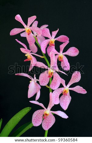 pink orchid on black isolated background