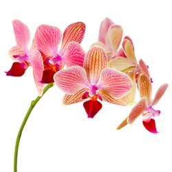 Pink orchid on white background