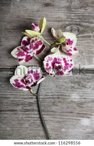 Pink orchid (Phalaenopsis) on a wooden background close-up