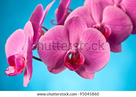 pink orchid with blue background