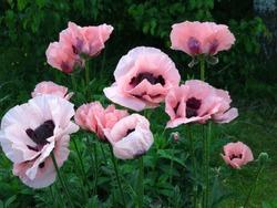 Pink oriental poppy (Papaver orientale) blooms in the garden in June.