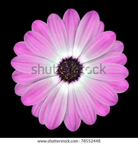 Pink Osteospermum Daisy or Cape Daisy Flower Isolated over Black Background. Macro Closeup - stock photo