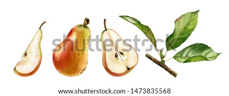 pink pear fruits half slice cut realistic botanical watercolor illustration set with tree branch leaves. ripe juicy isolated hand painted, fresh exotic food golden yellow green for food label design Photo stock ©