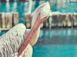 pink pelican cleans feathers on the blue lake