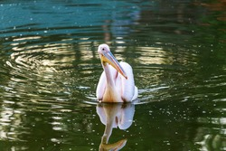 Pink pelican go fishing on the lake. Adult pelican on the lake. Shallow depth of field. Pelecanus onocrotalus.