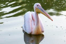 Pink pelican go fishing on the lake. Adult pelicans on the lake. Shallow depth of field. Pelecanus onocrotalus.