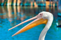 pink pelican with open beak on a background of pond with blue water