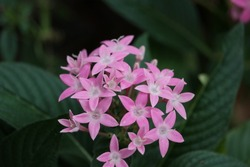 Pink pentas flower plant in a butterfly garden.
