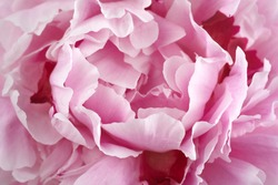 Pink peonies close up background. Vintage floral background. Beautiful spring garden. Wedding concept.