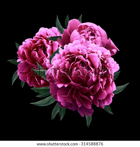Pink peonies close up isolated on black background #314588876