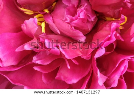 Pink peony blooms closeup macro photography floral bright floral background #1407131297