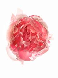Pink Peony Flower Backlit on White Background