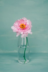 Pink peony flower in full bloom in glass bottle vase against green background. Still life with spring blooms.