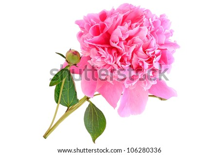 Picture Peony Flower on Pink Peony Flower Isolated On White Background Stock Photo 106280336