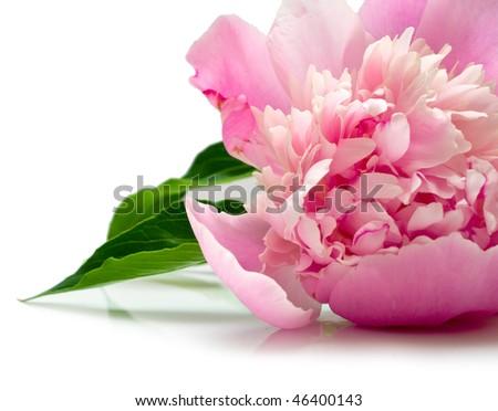 pink peony flower on white background. isolated - stock photo