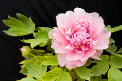 Pink Peony flower (Paeonia suffruticosa) isolated on black background. Peony in Chinese and is an important symbol in Chinese culture.