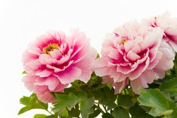 Pink Peony flower (Paeonia suffruticosa) isolated on white background. Peony in Chinese and is an important symbol in Chinese culture.