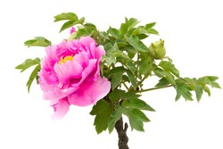 Pink Peony flower (Paeonia suffruticosa, tree peony, mudan flower) and white background. Peony flower is ornamental plant native to China and is an important symbol in Chinese culture.