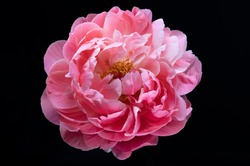 Pink Peony Flower Plant Color Texture Close-Up Macro Background - Wallpaper