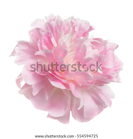 Pink peony flower rozovidnoy form isolated on white background. #554594725
