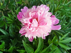 Pink peony flower Sarah Bernhardt. Floral background, aroma concept, flower texture.