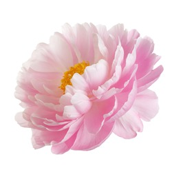 Pink peony flower with yellow stamens, isolated on white background