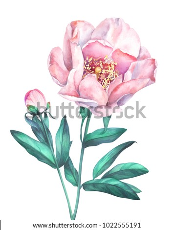 Pink peony isolated on white background. Hand drawn watercolor illustration.