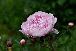 Pink Peony, Paeonia 'Sarah Bernhardt'. Gigantic, double, apple blossom pink flowers are an old fashioned favorite. Garden Peony at dusk.