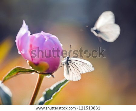 Pink Peony with butterflies in soft spring sunlight