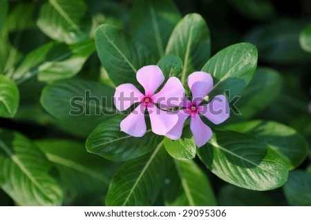 Periwinkle Flower Meaning Periwinkle Flowers Pictures